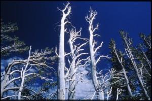 Kate McCarthy Whitebark Pine
